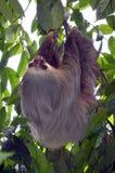 slothen toed två Royaltyfria Bilder