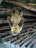 slothen toed två Royaltyfri Foto