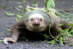 slothen toed vine två Fotografering för Bildbyråer