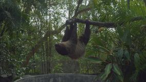 Sloths hanging on tree branch. In zoo stock footage