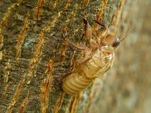 Slough από το cicada ` s χρυσό κοχύλι Στοκ Εικόνες