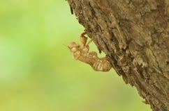 Slough μακριά cicada Στοκ Εικόνες