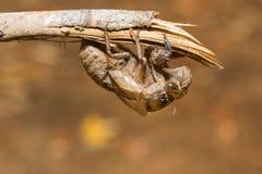 Slough μακριά, molt cicada, εντόμων Στοκ εικόνα με δικαίωμα ελεύθερης χρήσης