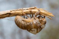 Slough μακριά, molt cicada, εντόμων Στοκ Εικόνες