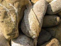Slough φιδιών στο υπόβαθρο πετρών, δέρμα φιδιών Κινηματογράφηση σε πρώτο πλάνο Snakeskin στη φύση το καλοκαίρι στοκ φωτογραφίες