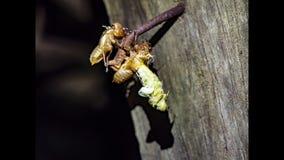 Slough цикады промежутка времени  видеоматериал