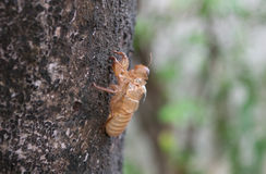 Slough Bug Royalty Free Stock Photo