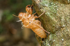 Slough cicada Stock Photo