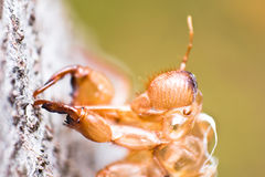 Slough of cicada Royalty Free Stock Photos