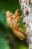 Slough of cicada grab on bark Stock Photos