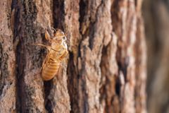 Slough of cicada insect molt on pine tree at Thung salaeng Luang National Park . Phetchabun and Phitsanulok province . Northern of royalty free stock photos