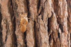 Slough de mue d'insecte de cigale sur le pin au parc national de Luang de salaeng de Thung Province de Phetchabun et de Phitsanul photos stock