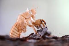 Slough dell'insetto fuori sull'albero Fotografie Stock