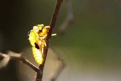 Slough della cicala Immagini Stock