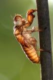 Slough della cicala Fotografie Stock