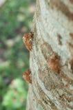 Slough der Zikade auf Baum Stockfotos