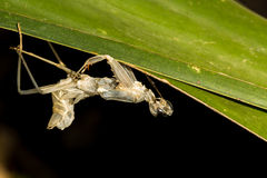 Slough of a grasshopper. Royalty Free Stock Photography