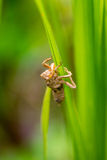 Slough of a grasshopper hung on rice leaf Royalty Free Stock Photo