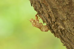 Slough off of the Cicada Stock Images