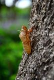 Slough off of the cicada. Its sticked on a tree Stock Photography