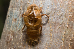 Slough off, molt of cicada,insect molting Stock Photography