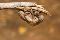 Slough off, molt of cicada,insect molting Royalty Free Stock Image
