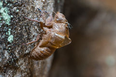Slough off, molt of cicada,insect molting Royalty Free Stock Photos