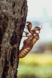 Slough off, molt of cicada on tree in nature, insect molting Royalty Free Stock Photo