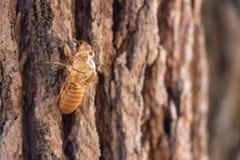 Slough van cicadeinsect ruit op pijnboomboom bij het Nationale Park van Thung salaeng Luang Phetchabun en Phitsanulok-provincie N royalty-vrije stock foto's