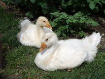 Slovak White goose, Domestic geese,. Goslings in a backyard, Adorable baby animals stock image