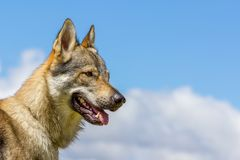 Slovakian чехословакская собака волка Стоковое фото RF