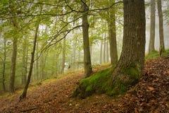 Slovakisk ek- och bokträdskog i dimma Arkivbilder
