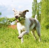 Slovakisk grov hundspring arkivfoto