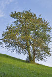Slovenia krajobraz z osamotnionym drzewem Fotografia Stock