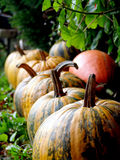 Slovenian autochthonous variety of edible pumpkins Slovenska golica Stock Images