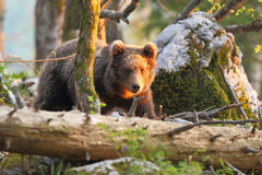 Slovenian bear royalty free stock photos