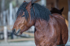Slovenian horse. Portrait of slovenian autochthonous breed of cold blooded horse of brown color and muscular body Stock Photography