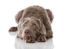 Slovenian wirehair dog isolated Royalty Free Stock Photos