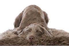 Slovenian wirehair dog isolated Stock Images
