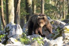 Slovensk björn Royaltyfri Fotografi