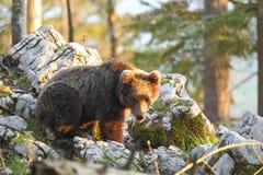 Slovensk björn Fotografering för Bildbyråer