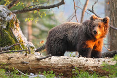 Slovensk björn Arkivbilder