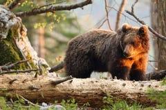 Slovensk björn Arkivfoton