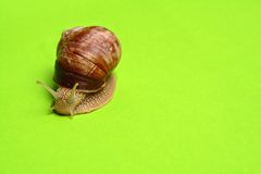 Slow. Snail on bright green background stock photography