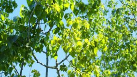 Bright green leaves against a blue sky. Slow bright green leaves against a blue sky stock video