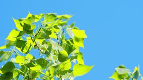 Bright green leaves against a blue sky. Slow bright green leaves against a blue sky stock video footage