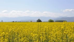 Slow camera movement over rapeseed field stock video