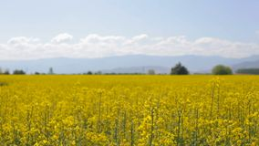 Slow camera movement over rapeseed field stock footage
