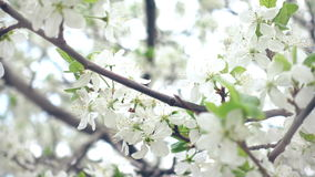 Slow Close Up To The Cherry Tree Blossoming. With White Flowers Daytime Footage stock footage