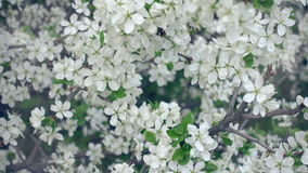 Slow Close Up To The Cherry Tree Blossoming. With White Flowers Daytime Footage stock video